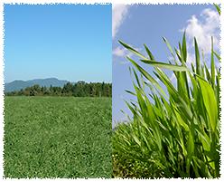 栄養豊富な九州産の大麦若葉(無農薬)